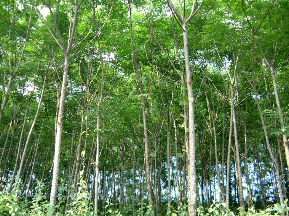 cây xoan đào giống