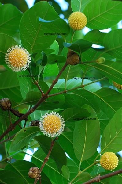 Hoa cây thiên ngân