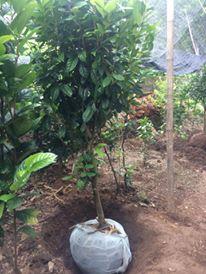 Giống cây trà hoa vàng đường kính 7cm