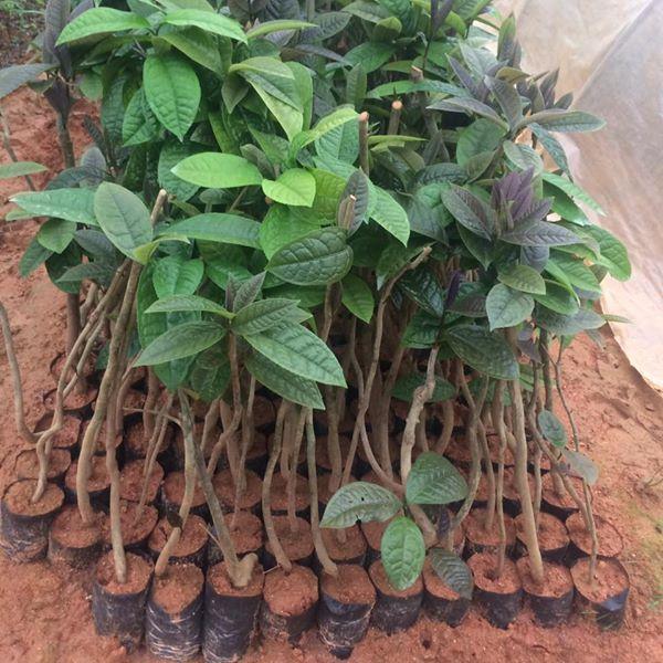 Cây trà hoa vàng cao 50 – 100cm