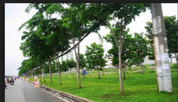 Cây giáng hương trồng cây bóng mát