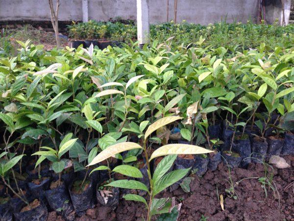 Giống cây trà hoa vàng Cao 20 cm