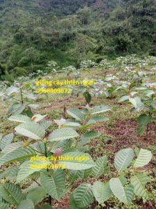 Mô hình trồng cây thiên ngân