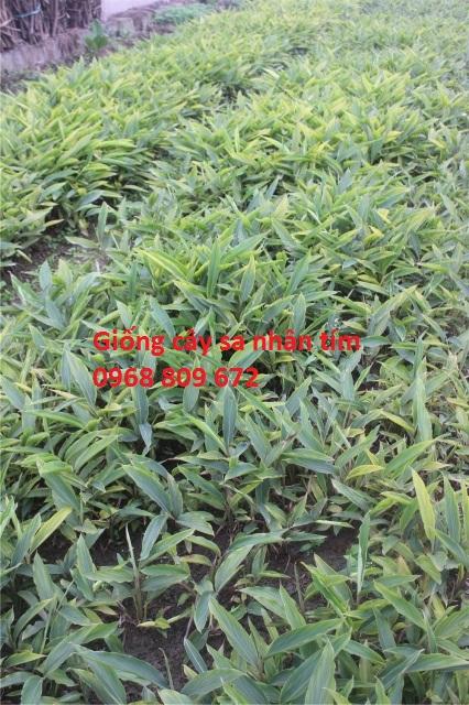 Giống cây sa nhân tím