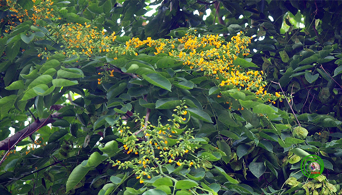 Cành cây giáng hương
