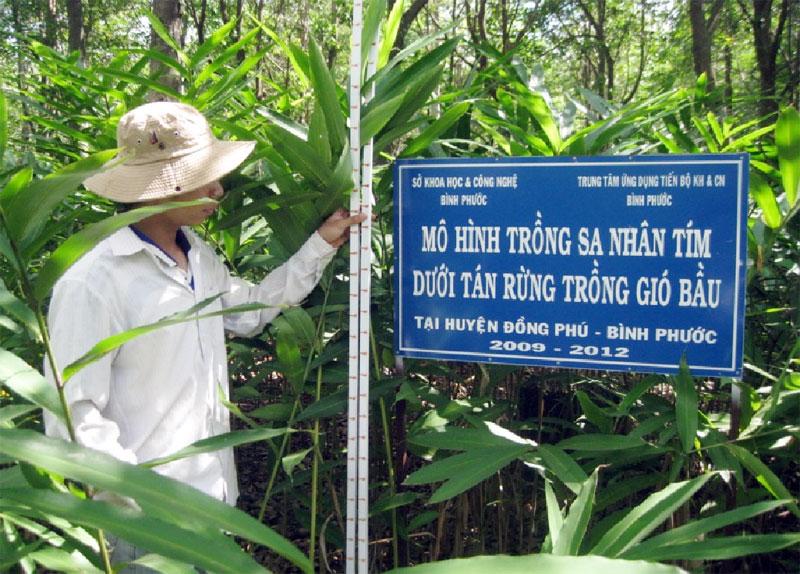 Mô hình trồng cây sa nhân