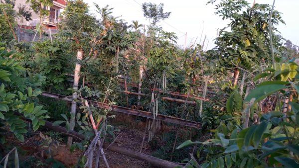 Kỹ thuật trồng và chăm sóc cây sâm nam (sâm trâu, cát sâm)