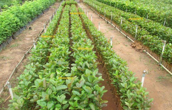Giống cây gáo vàng đủ tiêu chuẩn đưa đi trồng