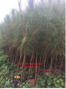 Giống cây thông caribe