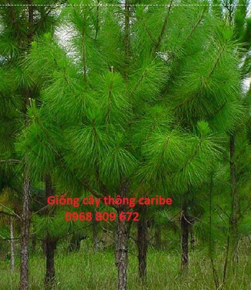Cây thông caribe