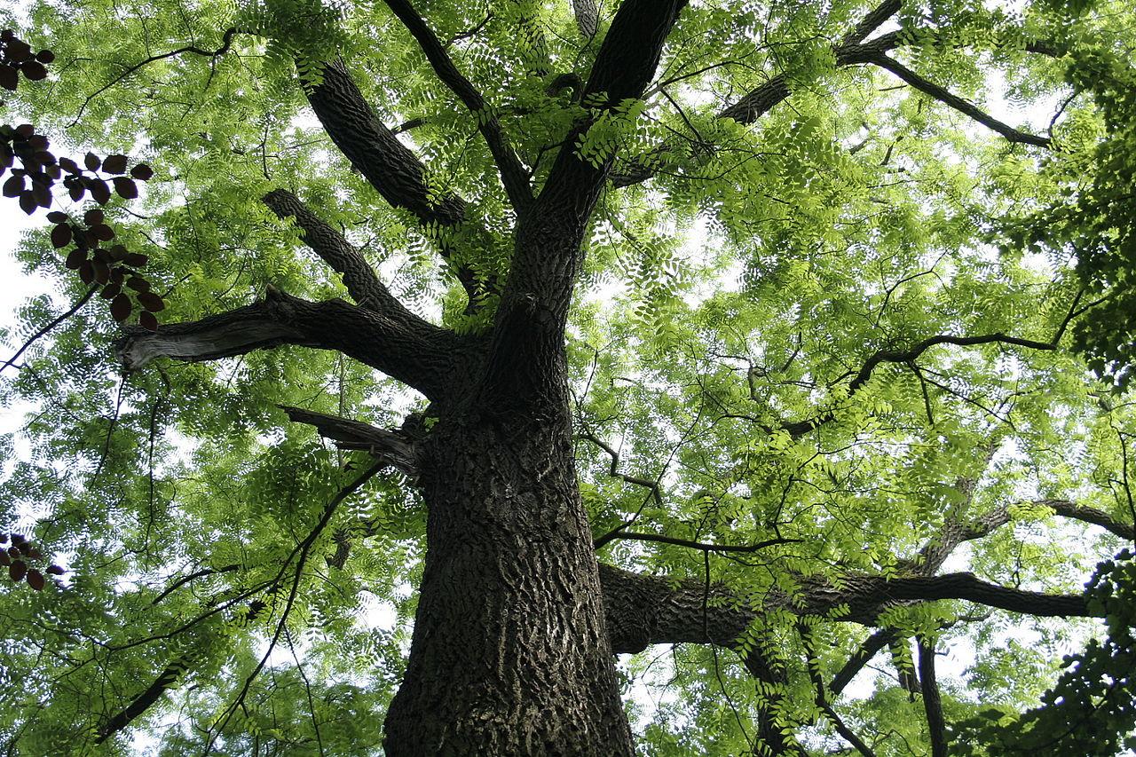 Thực chất cây thân gỗ là một loại cây có thân thớ gỗ sống lâu năm