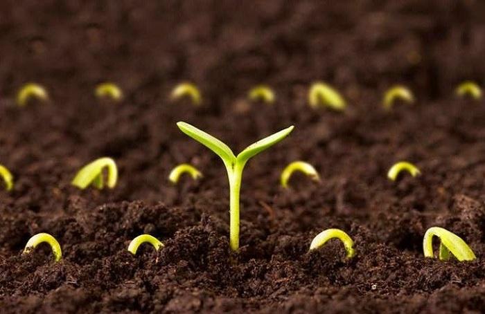 Ươm hạt giống trong khay đất tự nhiên