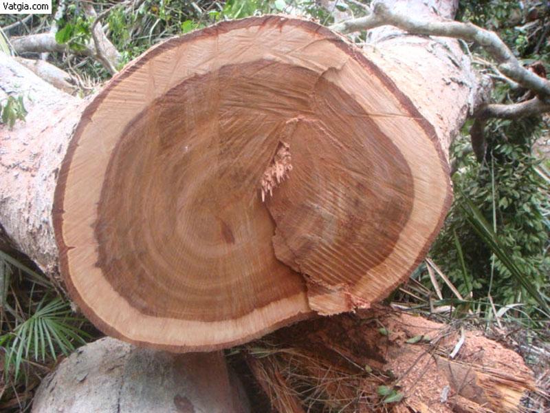 Tính tuổi cây thân gỗ bằng cách đếm các vòng tròn trên mặt cắt ngang