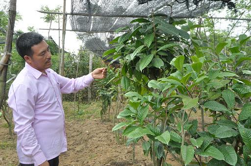 Kỹ thuật trồng và chăm sóc cây trà hoa vàng
