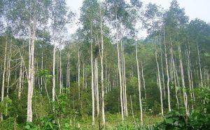 Kỹ thuật trồng cây dổi
