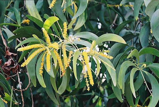 Hoa cây keo lá tràm