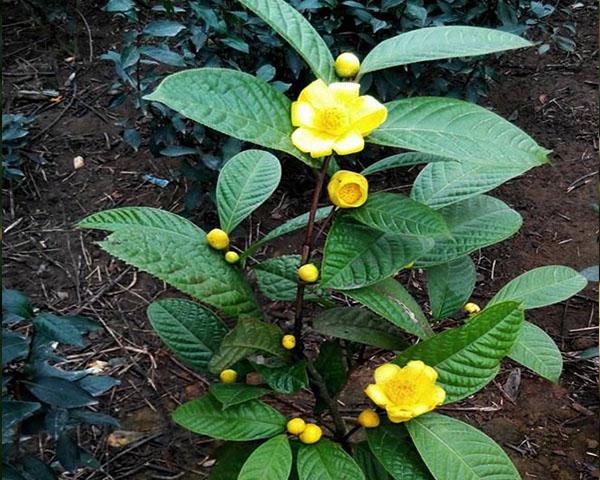 Lá cây trà hoa vàng
