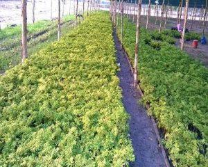 Vườn ươm cây đinh lăng