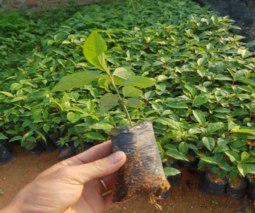 Giống cây gù hương