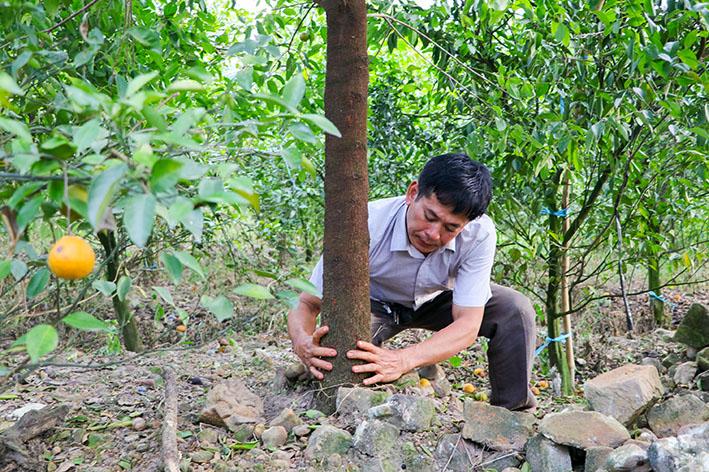 Kỹ thuật chăm sóc cây đàn hương